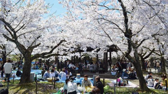 Tsurugajo Castle Cherry Blossom Festival